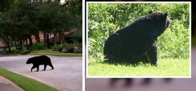 VIDEO: Susan Chalfant was walking her dogs when the bear knocked her down and mauled her.