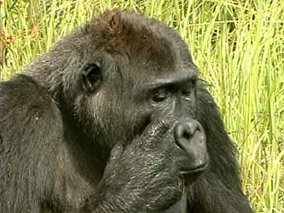 Gorillas Discovered in the Congo