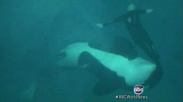 VIDEO: Tape shows Sea World killer whale dragging long-time trainer underwater.