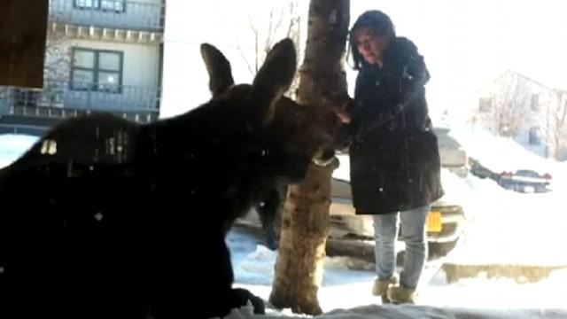 VIDEO: Chantelle Hernandezs simple stroke of a moose in Alaska has gone viral.