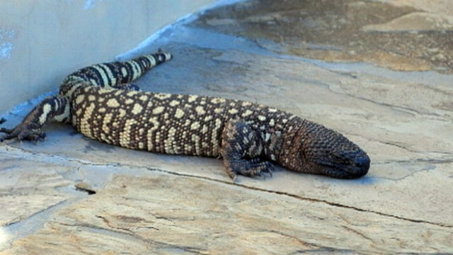 VIDEO: The two-foot long reptile is believed to be a Gila monster.