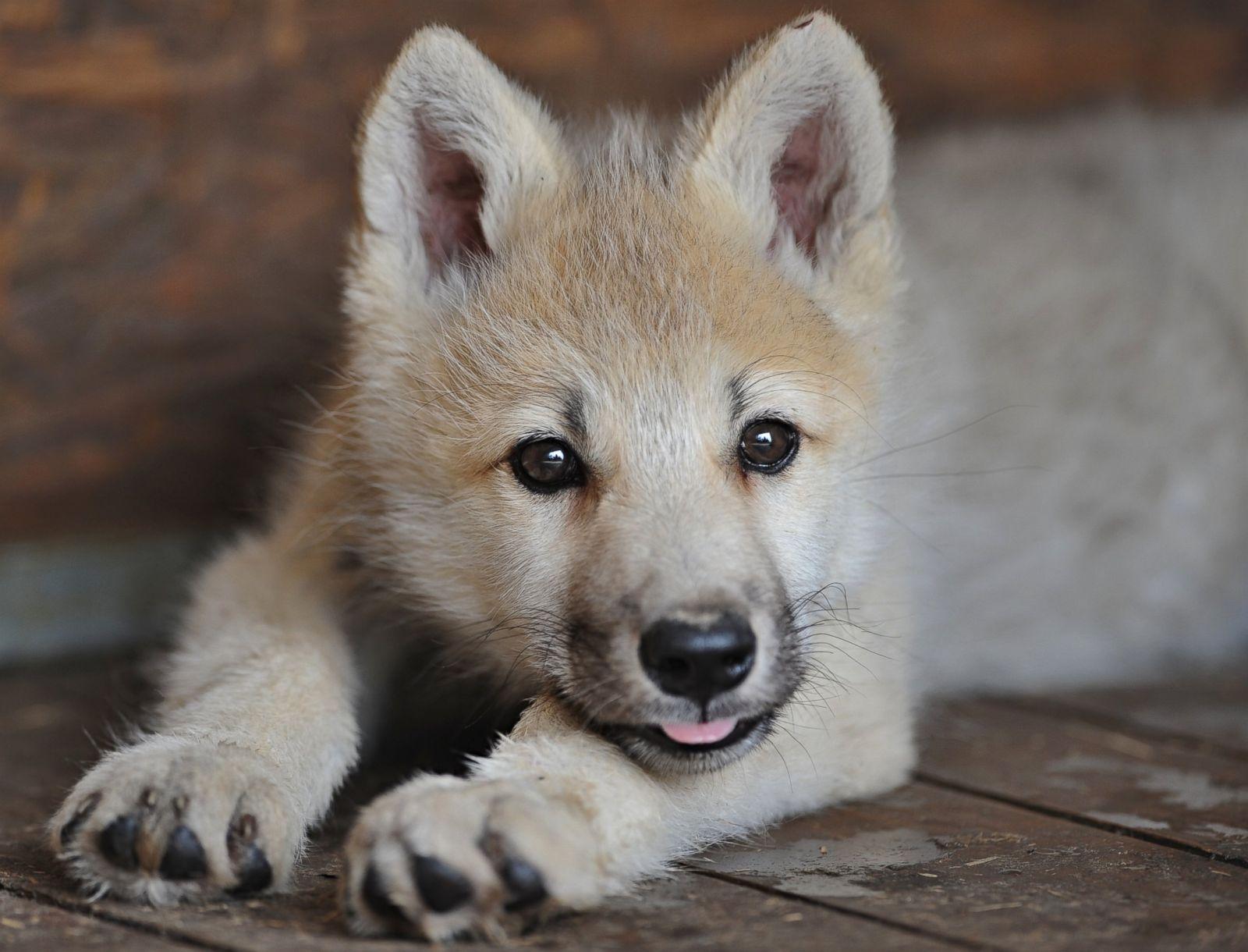 AP_baby_wolf_kab_150630_21x16_1600.jpg
