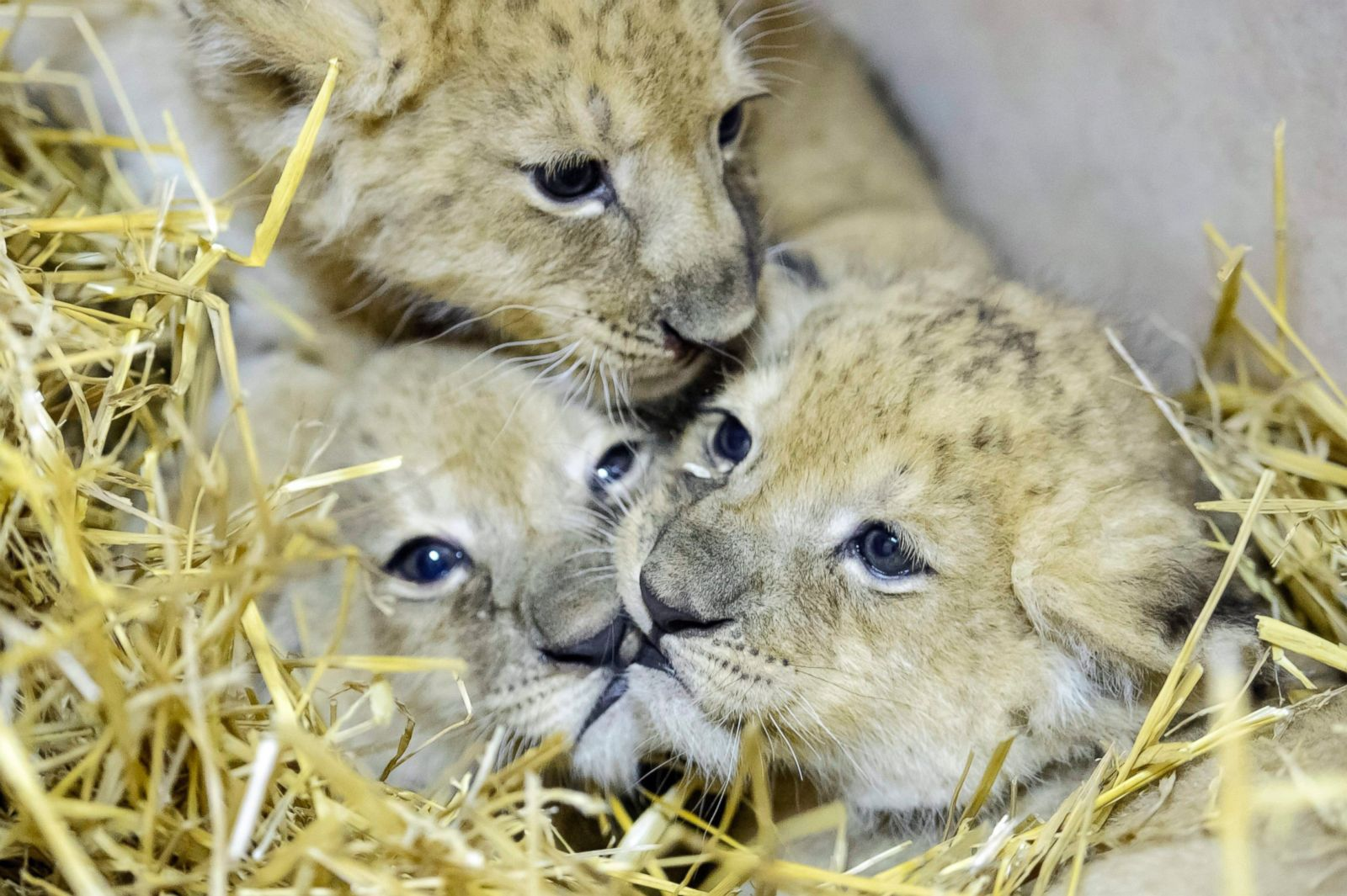 Cutest lion in the world - photo#33