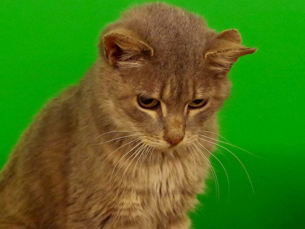 Stray Cat With Three Ears Surprises His Rescuers - ABC News