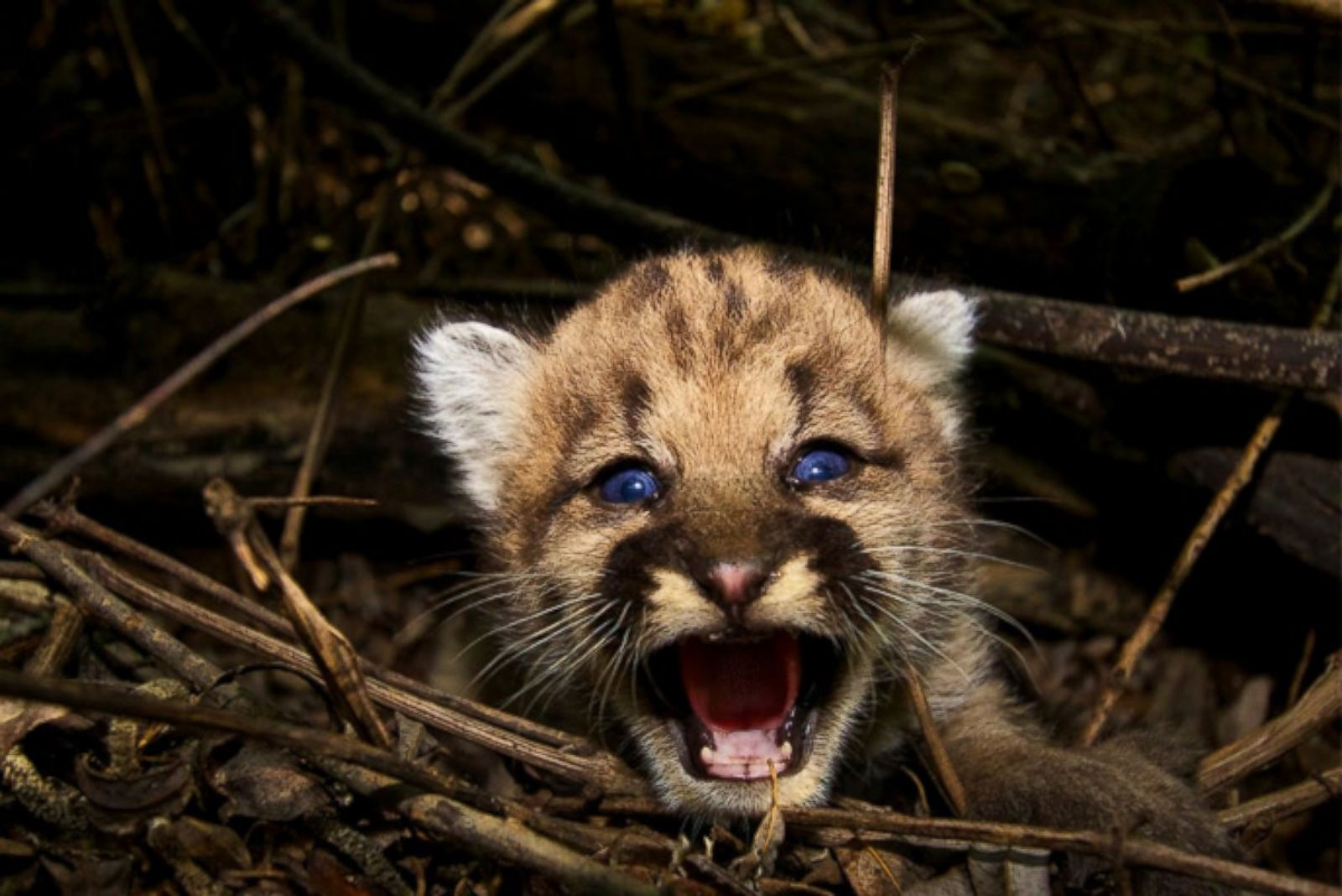Hello, Blue Eyes! Park Welcomes Newest Lion Cubs Picture ... - photo#37