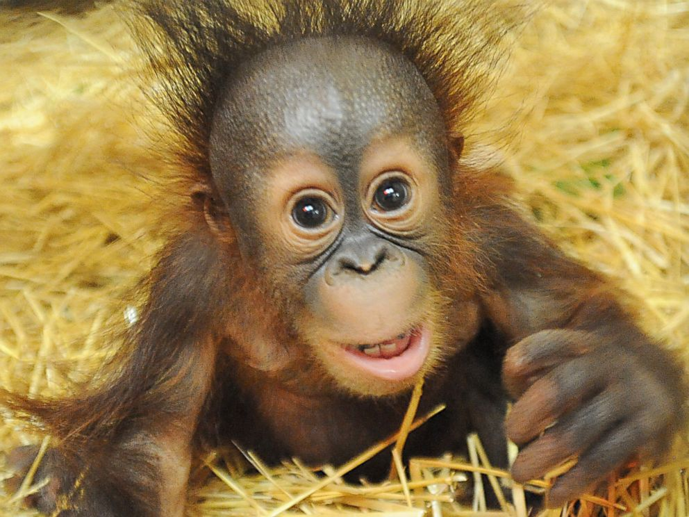 baby orangutan finds home with surrogate mom abc news