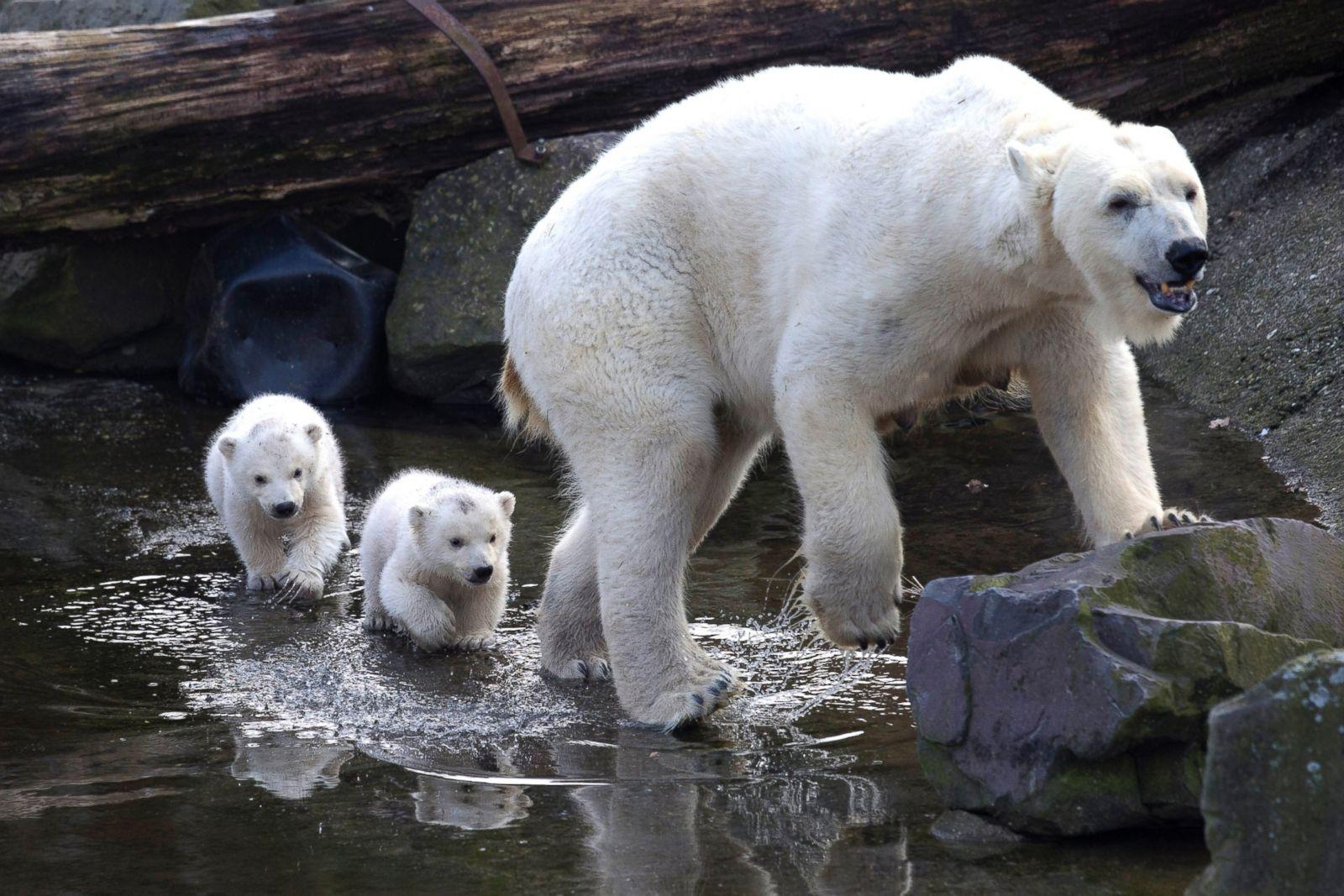 Cute Polar Bear Cubs Splash Through the Water Picture ...
