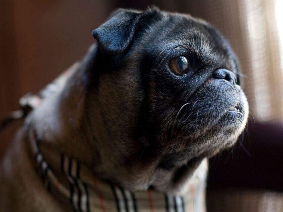 pug rescue chicago one eyed rescue pug lives posh life at chicago hotel abc 8161