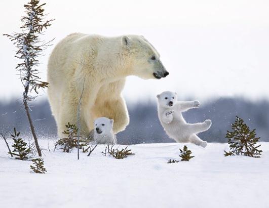 Polar Bears Picture | Tracking Newborn Polar Bear Cubs in ...