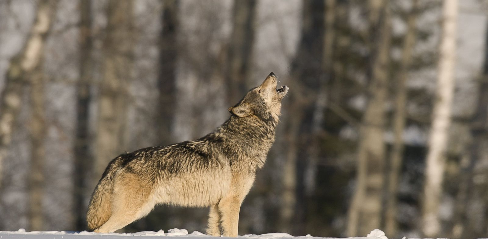 Why do Wolves Howl? Love, Scientists Say - ABC News