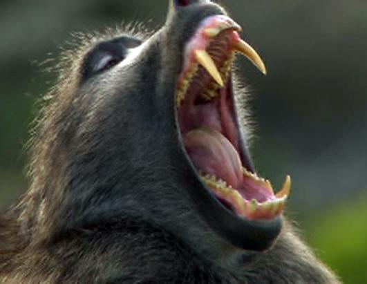 Baboon Mouth