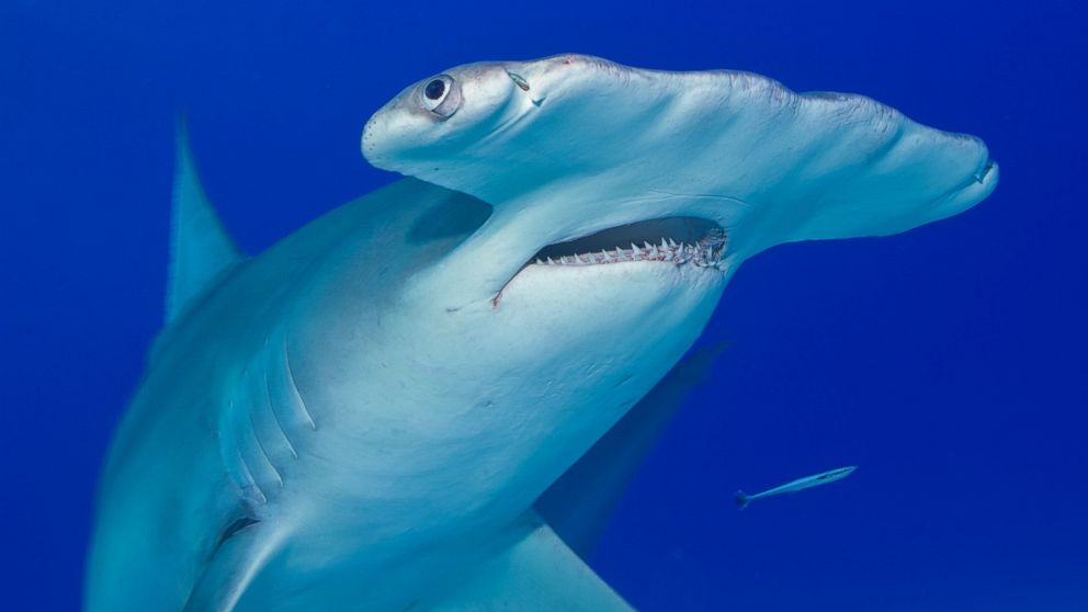 Map of US Shark Attacks This Year - ABC News