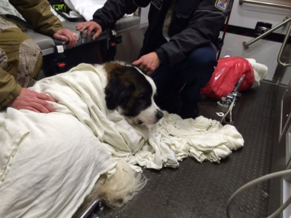 Saint Bernard Rescued After Falling Into Frozen Lake Abc