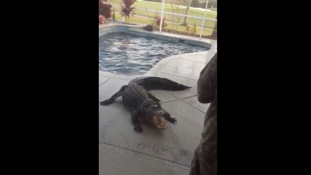 Florida Man Finds 9 Foot Alligator In Backyard Swimming