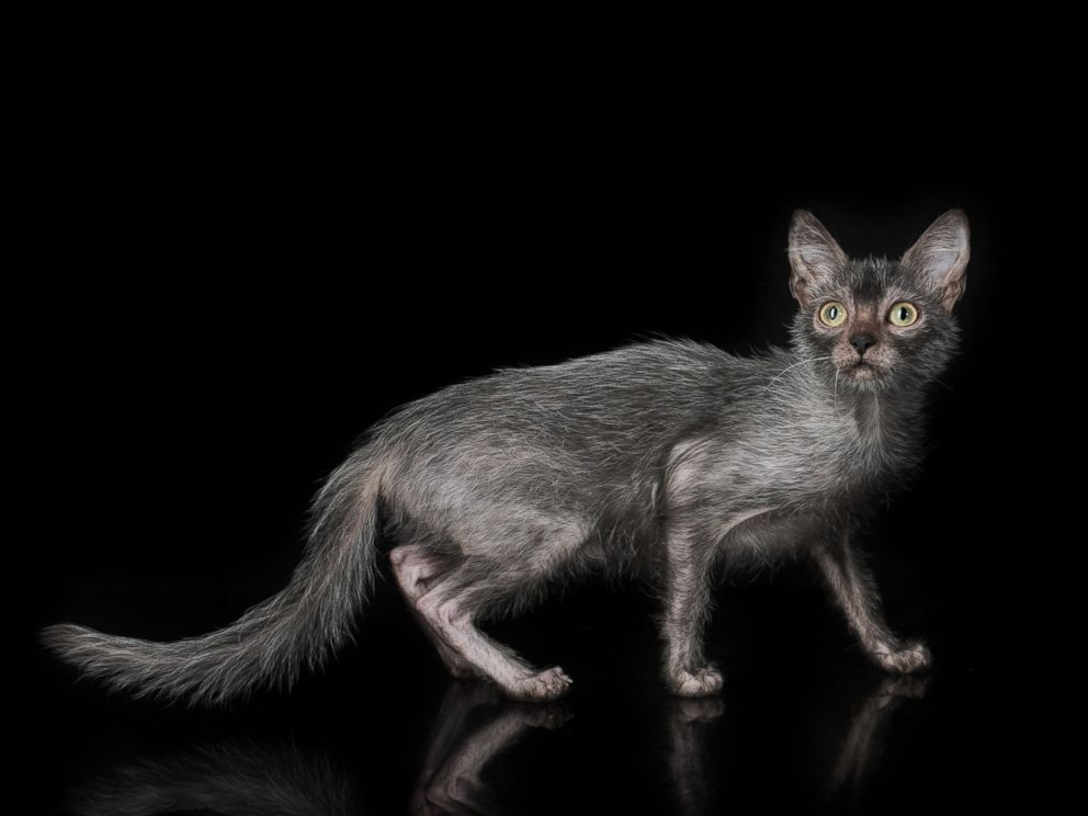 SectionsShowsABC News Network  |  © 2019 ABC News Internet Ventures. All rights reserved.'Werewolf' Cats Exist...and You Can Own One 'Werewolf' Cats Exist...and You Can Own One  Trump expected to end his fight to add citizenship question to census, sources say  President Trump weighs in on local Pledge of Allegiance controversy   Human rights lawyer Amal Clooney slams Trump, saying he 'vilifies' journalists  Mystery deepens surrounding teen's 1983 disappearance in Rome  Harvey Weinstein's new lawyer says he was 'railroaded' by #MeToo movement  Arson ruled in NYC fire that killed 6-year-old girl, 2 adults   Driver fired after 6-year-old left on bus at Iowa bus yard  Retired Red Sox legend David Ortiz undergoes 3rd surgery since being shot   Bernie Sanders brushes off likability concerns, maintains focus on platform  Dow Jones industrials cross 27,000 points for first time  Former Vice President Joe Biden to lay out his vision on foreign policy  Sen. Michael Bennet on The View says Trump is a 'weak leader' on immigration  Acosta defends his role in Epstein plea deal, offers no apology to victims   Donald Trump hosting 'social media summit' without Facebook, Twitter or Google  Buttigieg releases plan to tackle systemic racism, boost lives of black Americans  The Note: Why Epstein fallout doesn't stop or start with Acosta  Trump administration official stumped by House Democrat's question about Russia  Nominee to be Joint Chiefs vice chairman cleared of sexual misconduct allegations   Pelosi works to rein in progressives like Ocasio-Cortez amid intraparty squabbling  'Follow the damn law': Cruz joins lawmakers grilling State over 'emergency' arms sale  Trump campaign clashes with early Latino surrogates  Ivanka Trump's women's initiative announces $27M in grants  Desegregation remains an issue in many US schools  Putin and Ukraine's new leader discuss east Ukraine conflict  Nebraska state hospital worker accused of sex with patient  6 hospitalized after slow fifth bull 